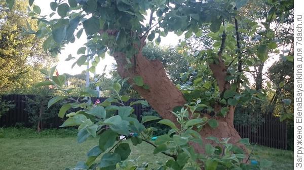 Это фото другой яблони, напомню у нас их 11