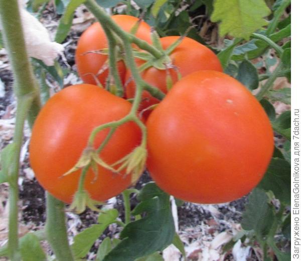 Золотая теща сверхкрупноплодные помидоры