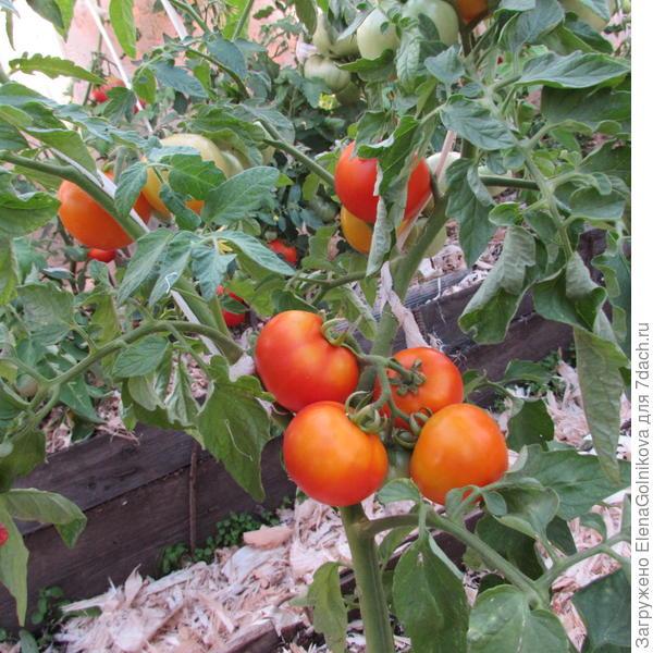 Гибрид помидоров Золотая Теща