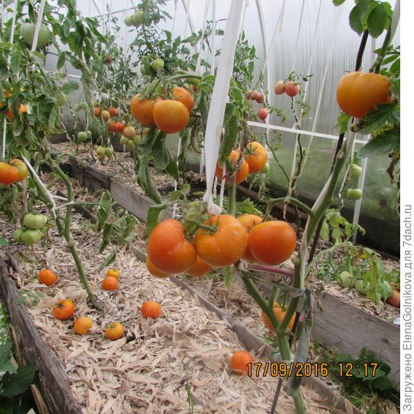 помидоры Золотая Тёща