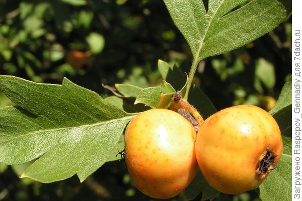 желтоплодный