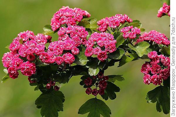 цветет сортовой