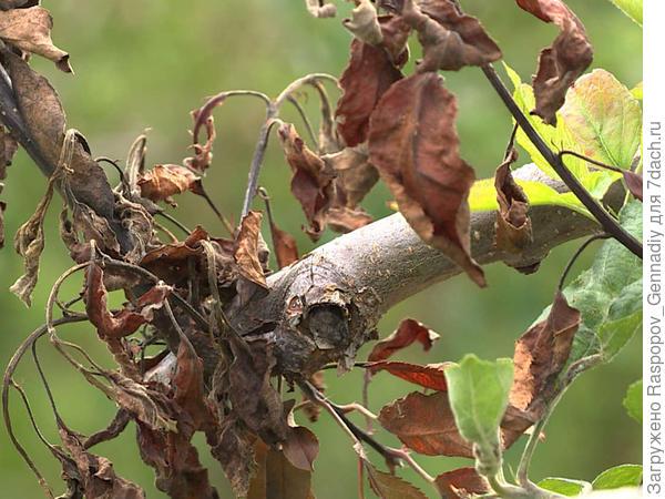 усыхание ветвей