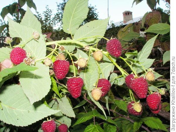 Плодоношение ремонтантной малины Геракл: одновременно и зрелые ягоды, и завязи, и цветки.
