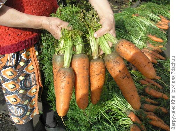 Урожай моркови сорта Шантанэ. Сентябрь 2015 г.