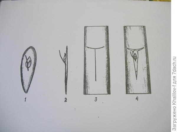 Прививка глазком (окулировка) 1) Почка с щитком подготовленная для прививки (вид спереди). 2) Почка с щитком, вид сбоку. 3) Разрез, который делается на подвое. 4) Выполненная прививка: щиток вставлен в разрез, осталось аккуратно  обмотать прививку изолентой.об. )