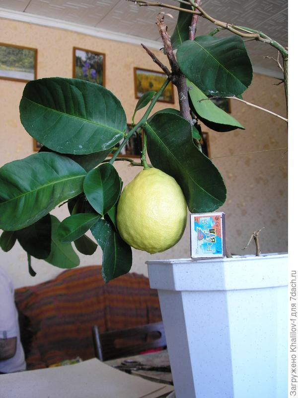 Комнатный лимон
