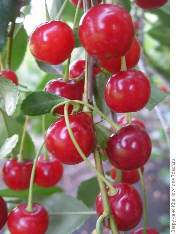 Плоды кустовой вишни сорта Маяк