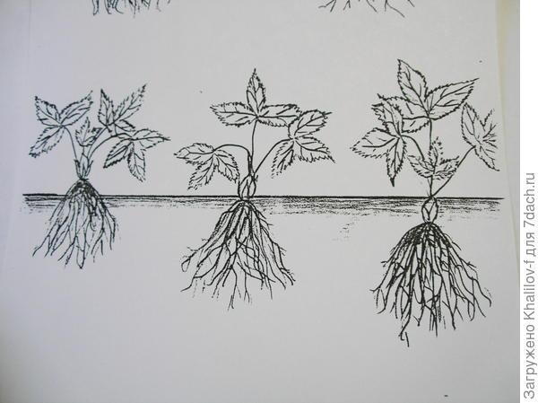 Посадка земляники: слева не правильная слишком мелко, корни внаружу, в серединее - правильная, справа не правльная глубокая посадка, закопано сердечко.