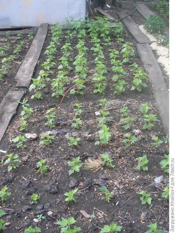 Посаженные на грядки черенки к лету начинают зеленеть, укореняются и к осени превращаются в хорошие саженцы.