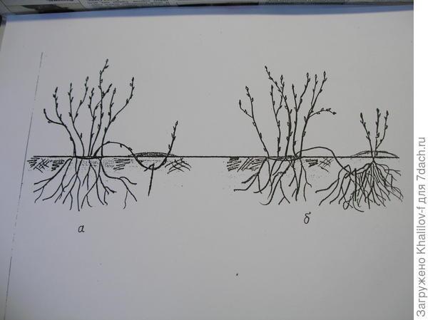 а) Весной вот так пришпиливаем однолетний побег. б) К осени побег хорошо укореняется и можно секатором отсечь и пересаживать.