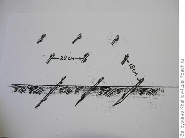 Размножение смородины одревесневшими черенками.