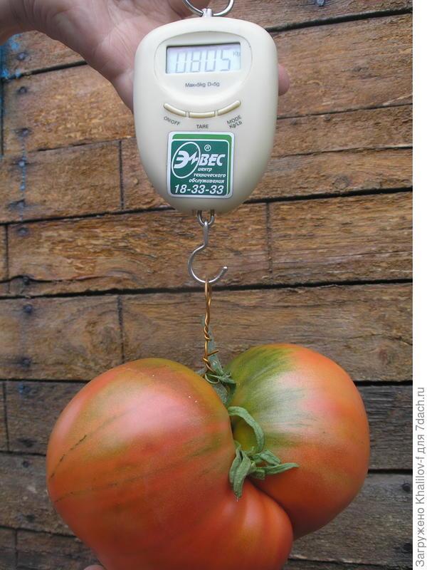 Самый крупный (пока) наш помидор выросший на открытом грунте сорван 14 августа. Сорт Розовый мед.на