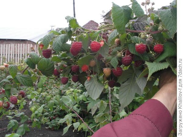 вот урожай малины сорта Новость Кузьмина в 2016 году, добавлю, только благодаря обильному поливу.