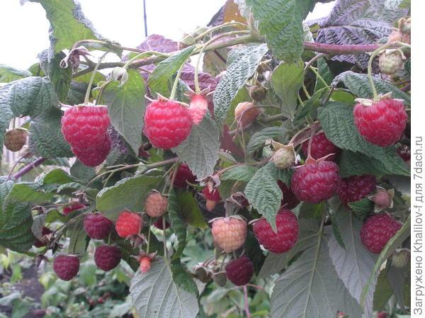 Ремонтантная малина Геракл. Одновременно и красные ягоды и краснеющие и увеличивающиеся в размерах и даже цветки.: эта малина отдыха не знает.г