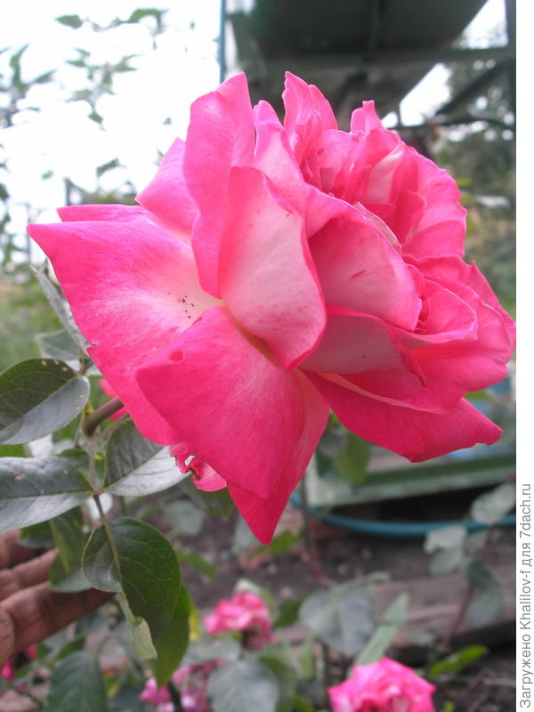 Болгарская роза из г. Габрово