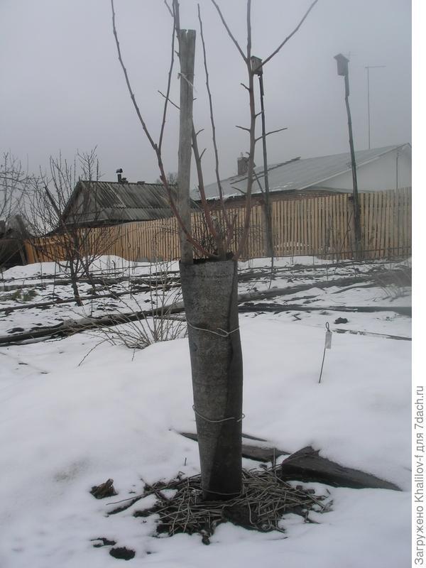 Подготовка к зиме молодой яблони