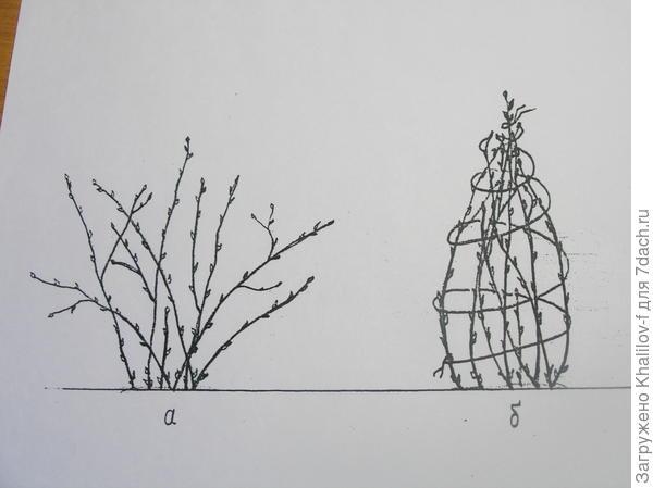 Подготовка к зиме крыжовника, чтобы зимой не разломал снег.