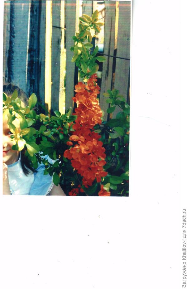 Цветет айва япнская и моя внучка.....