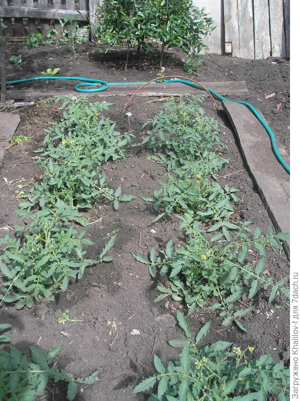 Начинает цвести томат Монгольский карлик