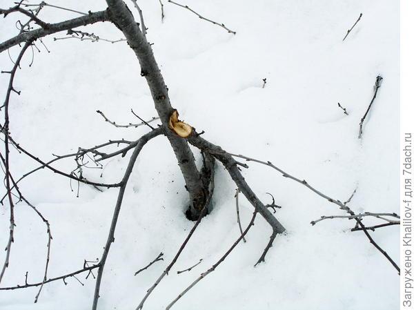 """Весной, оседающий снег тянет за собой ветки которые у него """"в плену"""" и даже выдергивает их со ствола буквально."""