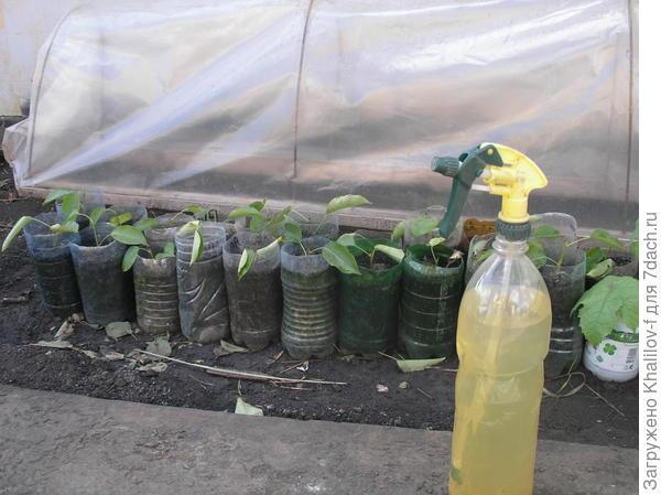 Зеленые черенки подготовленные к укоренению