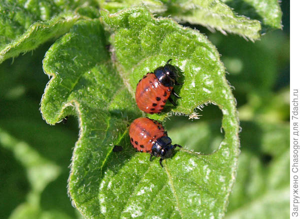 личинки колорадского жука