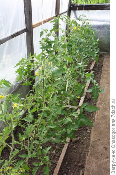 томаты в 2013