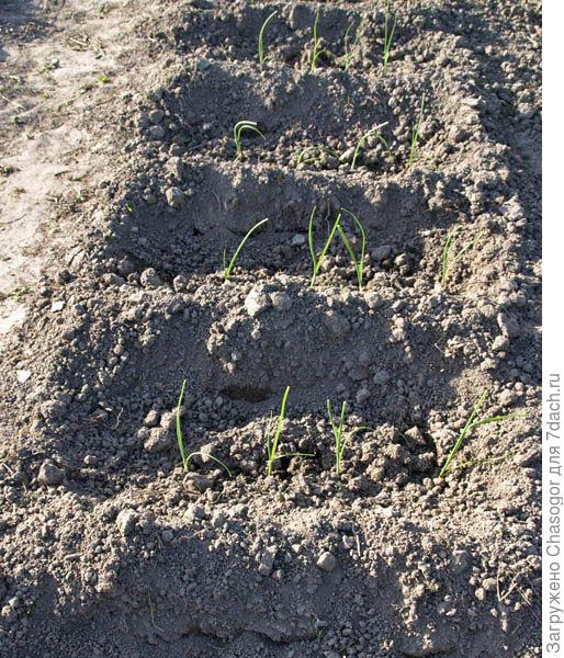 рассада высажена и присыпана почвой