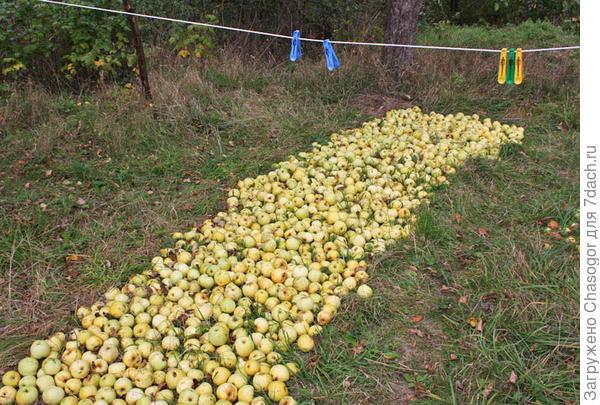 дорога в сад вымощена яблоками