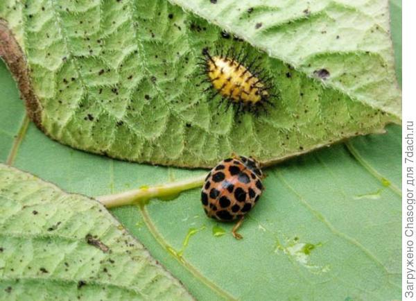эпиляхна и её личинка
