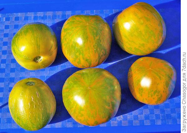Зебра зелёная плоды