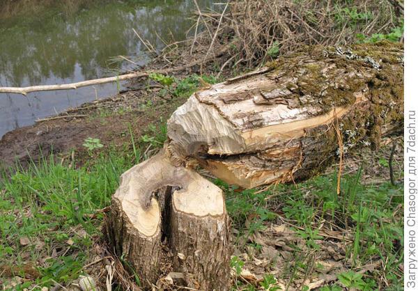 деревья валят бобры