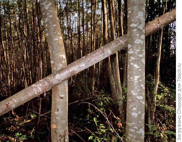 ольха в лесу