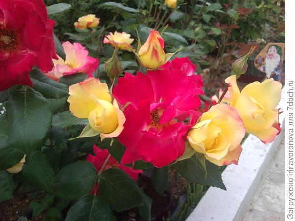 Этот сорт роз зацвел впервые ( приобрела осенью )