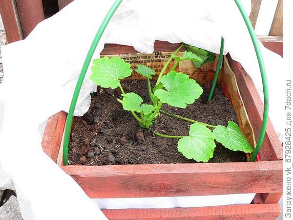 компостный ящик с кабачками ранней весной
