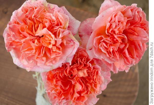 мои розы - вам