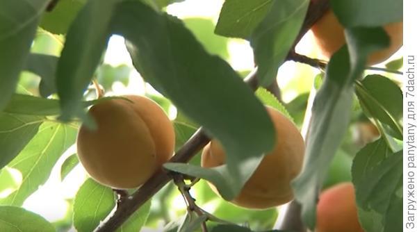 зреют абрикосы