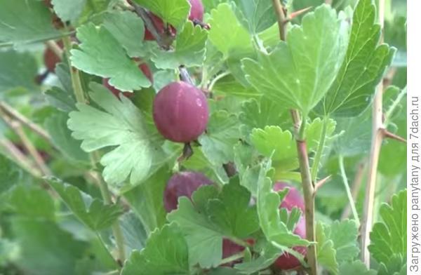 вот первые плоды , правда заказывала я зеленые сорта))