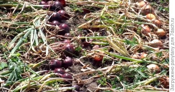 урожай лука