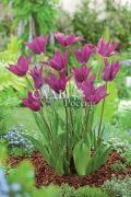 тюльпаны Сиреневый сон
