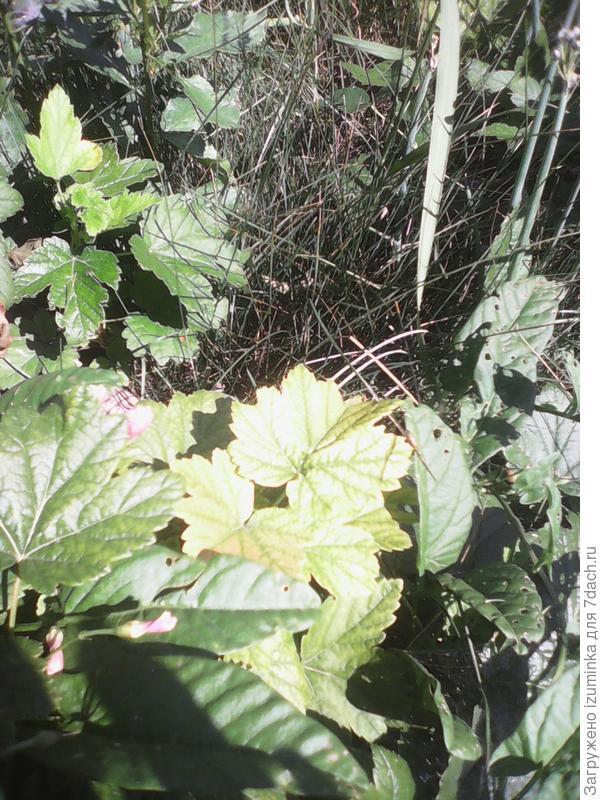 листья черной смородины бледные с прожилками