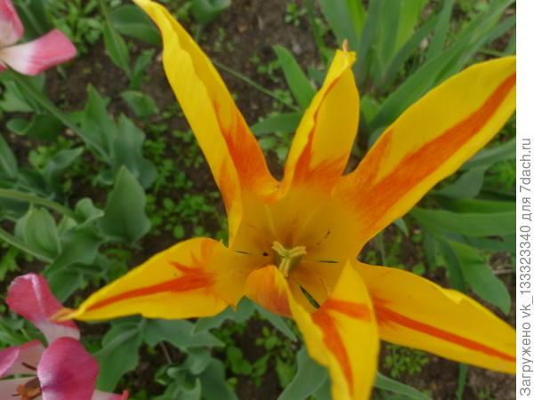 лилиецветный тюльпан