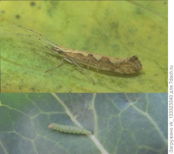 Капустная моль, бабочка и её гусеница (фото из инета)