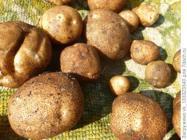 картофлян