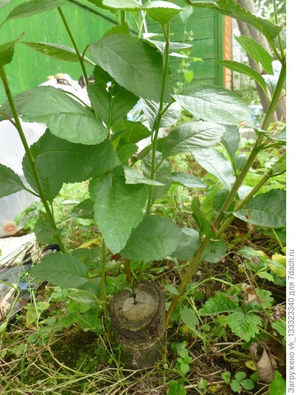 Поросль на старом пеньке от вишни.