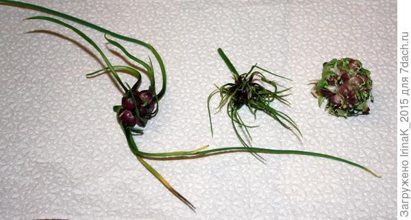 бульбочки чеснока прорастают