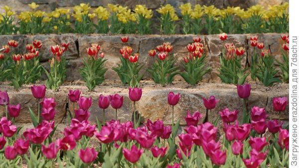 А тут уже и тюльпаны...