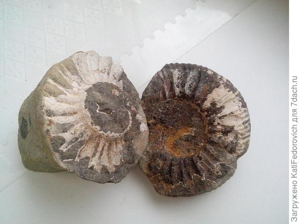 моллюск раковина