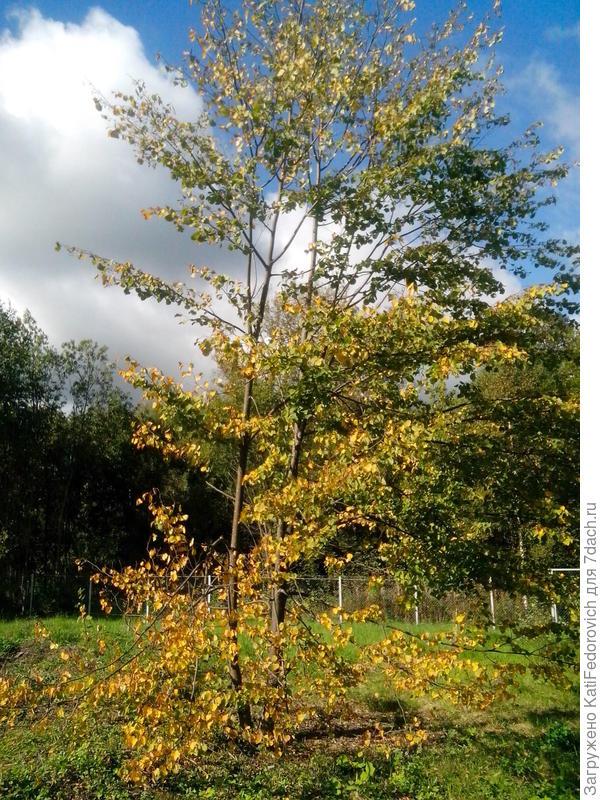 липа осенью